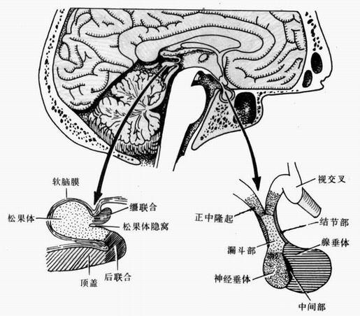 脑部结构图解大全