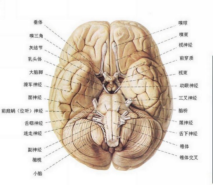 大鼠下丘脑结构图